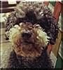Eubie the Poodle