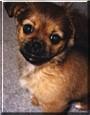 Milo the Shizu/Chihuahua