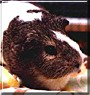 Rodolfe the Rex Hollander Guinea Pig