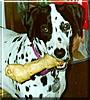 Cleo the Dalmatian