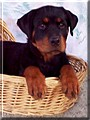 Cane the Rottweiler