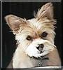 Sammie the Schnauzer/Pomeranian