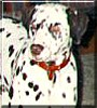 Clyde the Dalmatian
