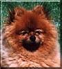 Ace the Pomeranian