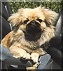 Wing Ling the Pekingese