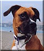Daisy the Boxer