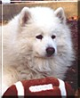 Arctic Zephyr the Samoyed