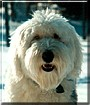 Daisy the Old English Sheepdog