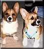 Sunbun and Daisy the Pembroke Welsh Corgi