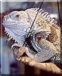 Delilah the Green Iguana