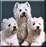 Bailey, Humphrey, Boswell the White West Highland Terriers