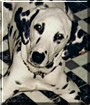 Shadow the Dalmatian