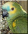 Ito the Blue Fronted Amazon