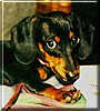 Emily the Miniature Dachshund