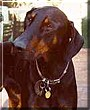 Archibold the Doberman