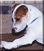 DJ the Jack Russell Terrier