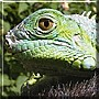 Go the Green Iguana