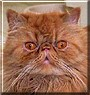 Toby the Red Tabby Persian