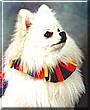 Magi the Pomeranian