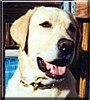 Spencer the Yellow Labrador Retriever