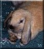 Scoobie the Dwarf Lop Rabbit
