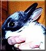 Edgar the Netherland Dwarf Bunny