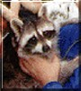 Rocky the Raccoon