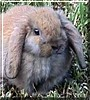 SnuggleSs the Netherlands Rabbit
