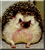 Harley the African Pygmy Hedgehog