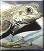Cripple the Iguana