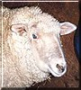 Stewart Lamb the Merino Sheep