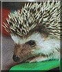 Koffee the African Pygmy Hedgehog