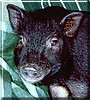 Ziggy the Ossabaw Miniature Pig