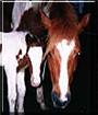 Kola the American Paint Horse