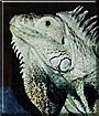 Ben the Green Iguana