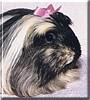 Corky the Peruvian Guinea Pig