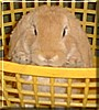 Brian the Dwarf Lop Rabbit