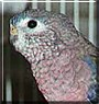 Ricky the Bourkes Parakeet