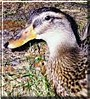 Pongo the Mallard Duck