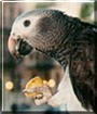 Zuba the Timneh African Grey Parrot