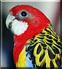 Chicklett the Rosella