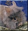 Wilf the Lionhead Rabbit