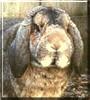 Hopsy the Minilop