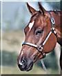 Prince the Quarter Horse