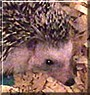 Chubzuri the African Pygmy Hedgehog