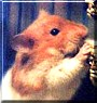 GeeBee the Hamster
