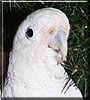 Squeaky the Goffins Cockatoo