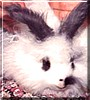 Gigglefeather the English Angora