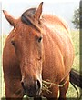Miles the Standardbred Horse