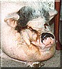 Roto the Potbelly Pig